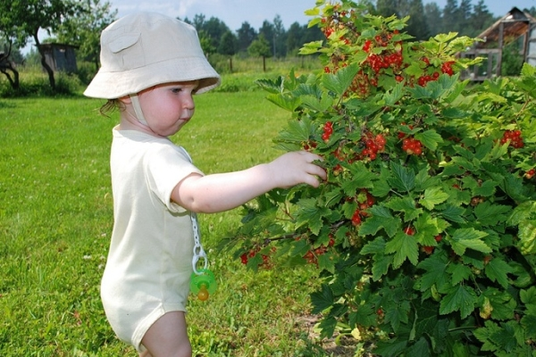 How to care for black, red and white currants after harvesting berries?