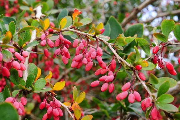 Botanical description of the barberry ordinary, useful properties, planting and care