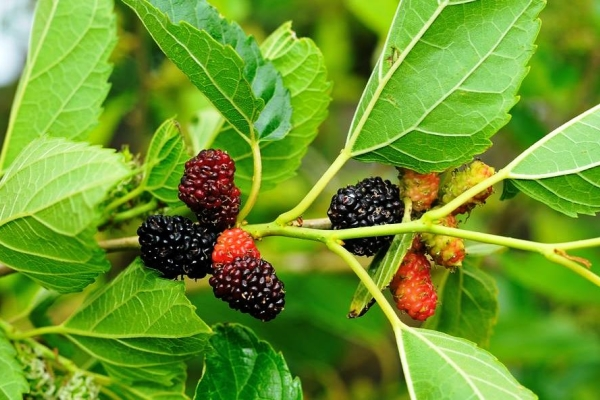 Mulberry: characteristics and beneficial properties of leaves and fruits
