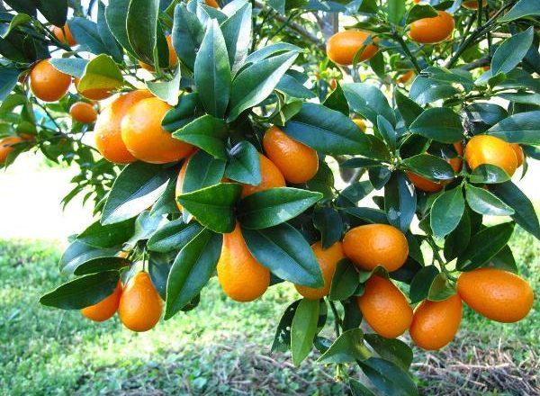 Tropical Fruit Kumquat