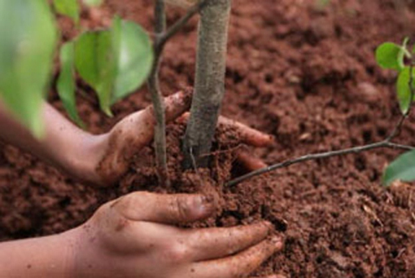 Planting saplings of fruit trees