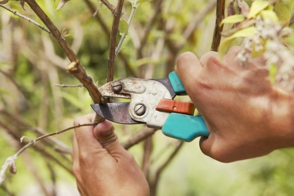 Pruning fruit trees: why is it necessary and when is it carried out?
