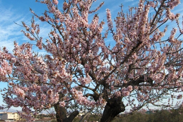 Detailed tree description of almonds, planting and care