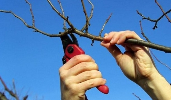 Pruning apricot in autumn