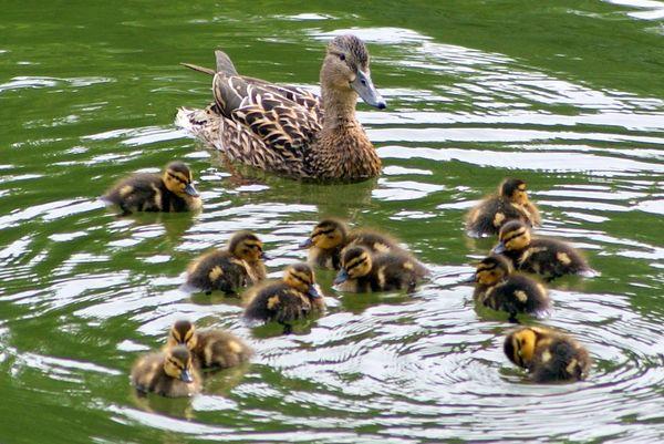 Wild duck feed