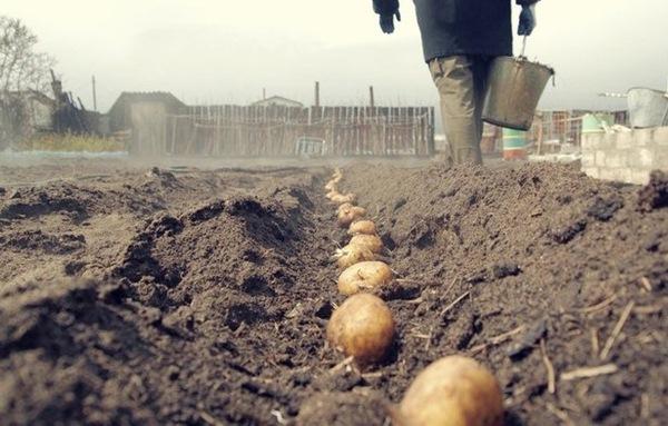 Planting potatoes in the Leningrad region
