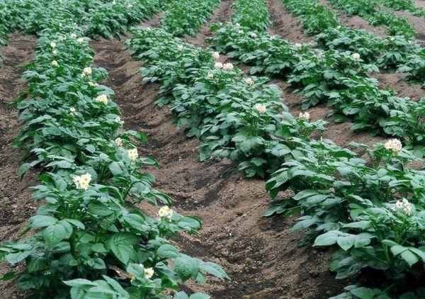 Planting potatoes in the ridges
