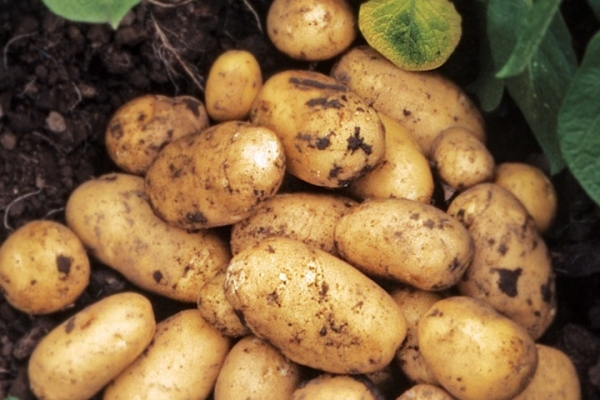 Description and characteristics of the potato variety Adretta, tips on planting and care