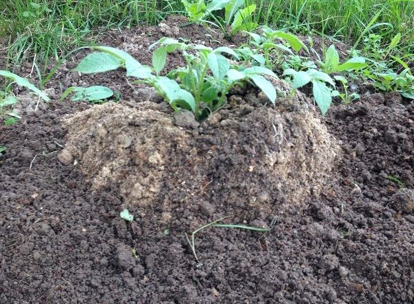 Growing potatoes using Chinese technology