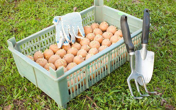 Potatoes before planting