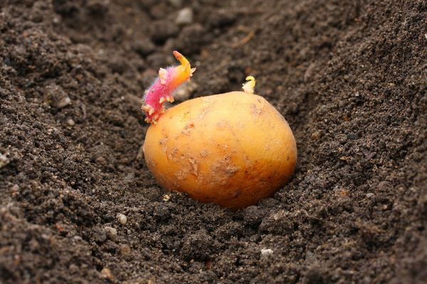 Planting potatoes in the Moscow region