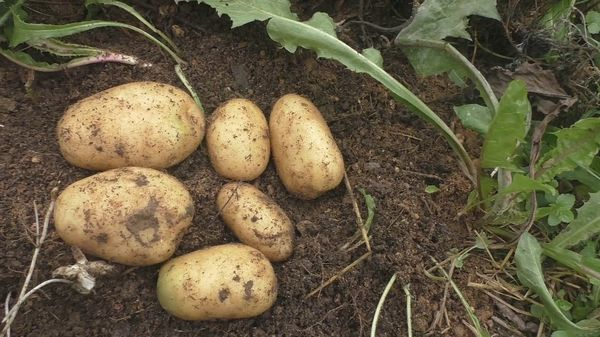 Siderates for potatoes