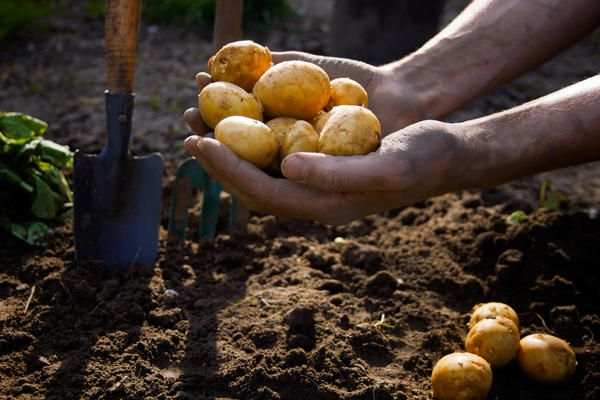 Terms of planting potatoes
