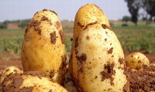 Description of potato varieties Uladar