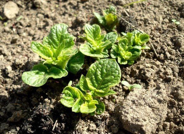 Potato shoots after planting