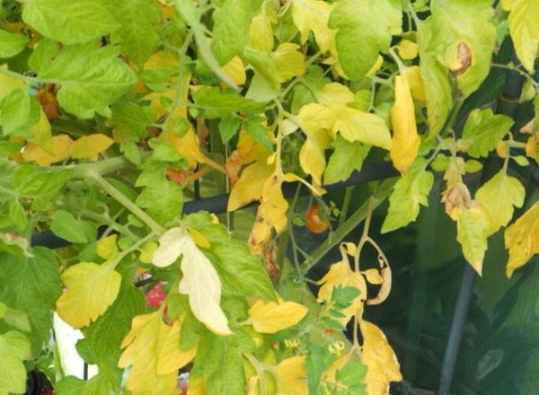 Why the leaves of tomatoes turn yellow