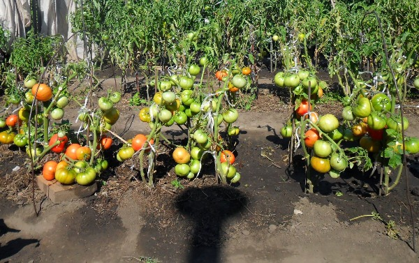 Growing tomatoes according to the method of I. M. Maslov