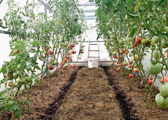 Mulching tomatoes