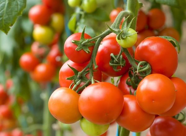 What can be planted after tomatoes