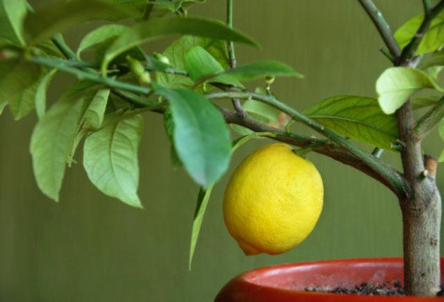 feeding lemons