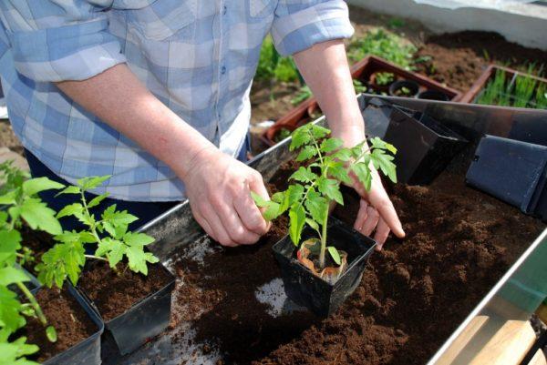 Care for tomato seedlings