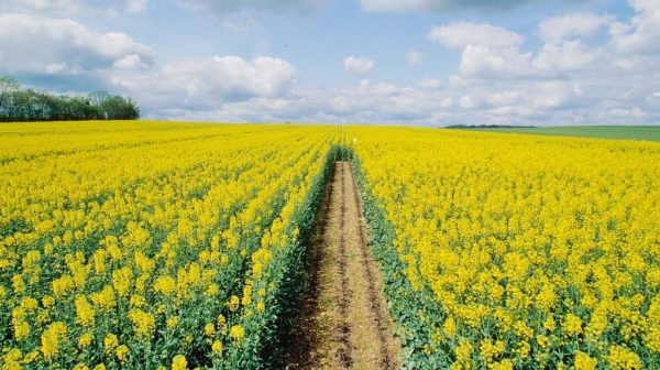 Canola as a siderat is often planted in fields