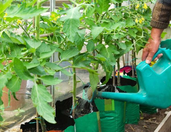 Watering after transplanting tomatoes