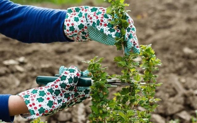 gooseberry autumn care pruning top dressing