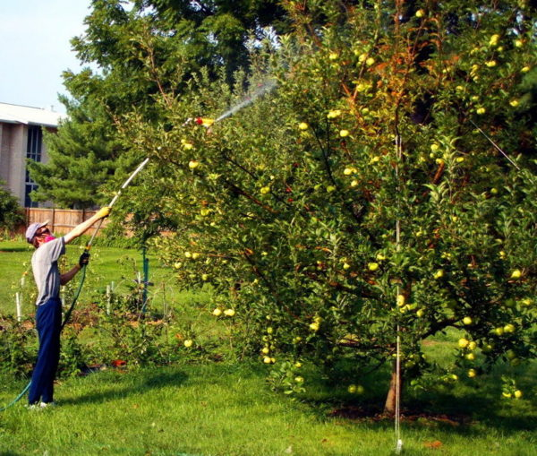 Terms of processing fruit trees