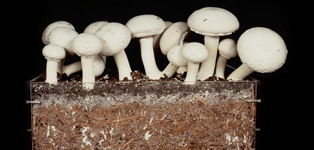 Compost Mushrooms