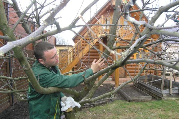 Phosphate fertilizers strengthen trees