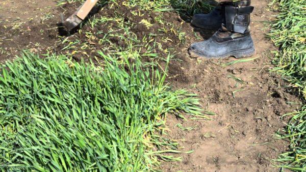 Rye is cut when it reaches 15 cm