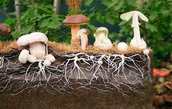 Mycelium of mushrooms