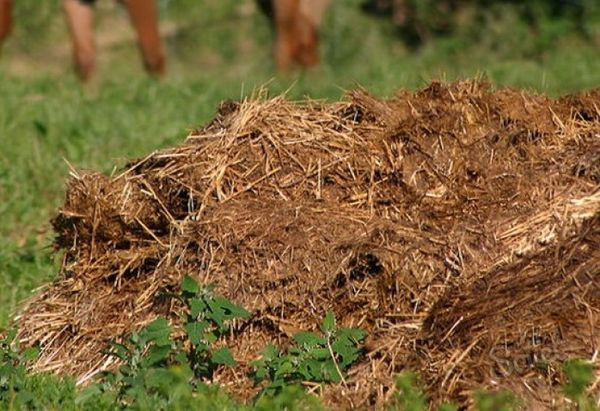 Fertilizer straw manure increases the manure yield by 2 times