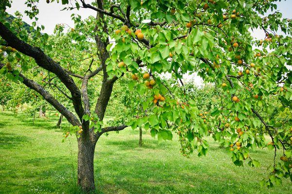 Apricot feeding