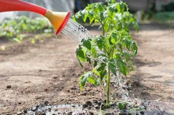 how to feed tomato seedlings