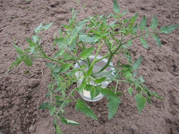 Overgrown seedlings can be cut in half and grown further as 2 seedlings