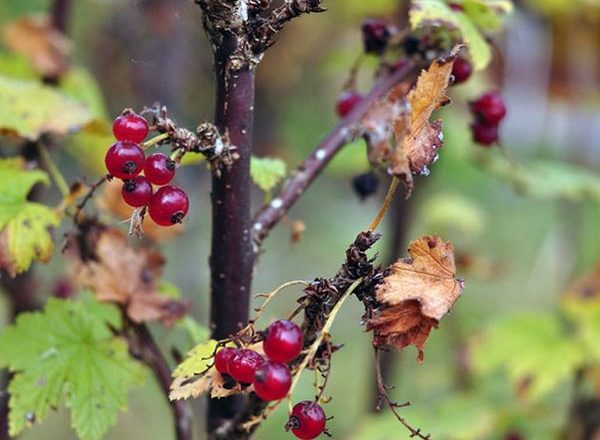 Care for currants in the fall