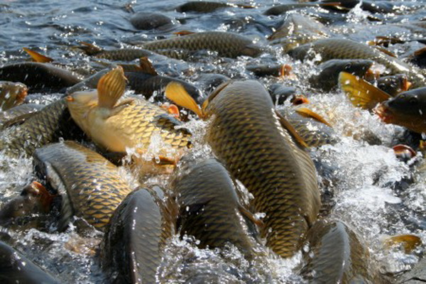 Breeding carp