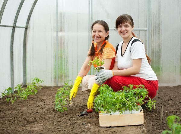 Transplant seedlings in greenhouses begin in late April