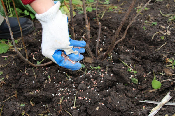 Fruit trees and shrubs need fertilizer after fruiting