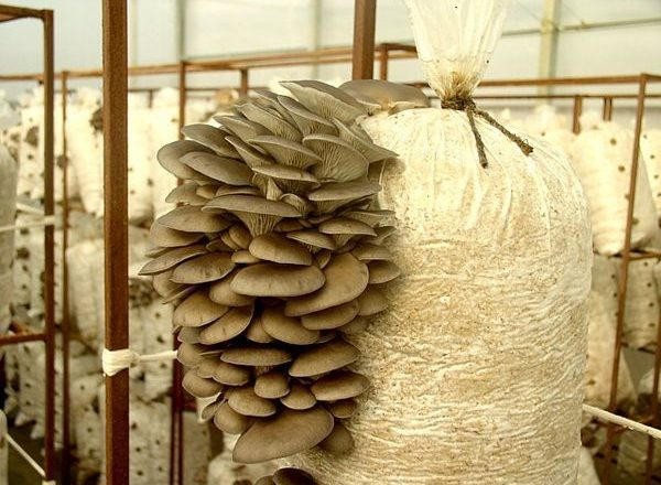 Growing oyster mushrooms at home