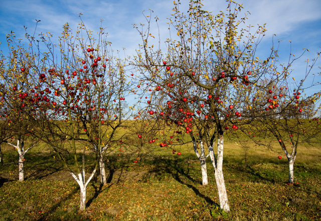 Top dressing apple trees in autumn