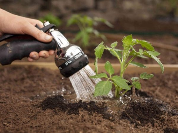 All tomato irrigation is carried out according to different schemes.