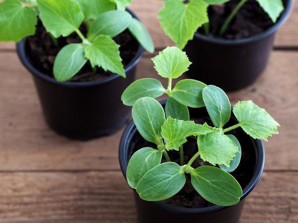 Strong seedlings