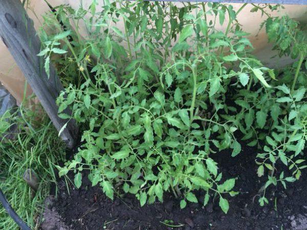Scruffy tomatoes give plenty of green.