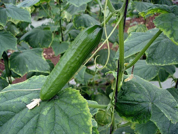 Soil for cucumbers