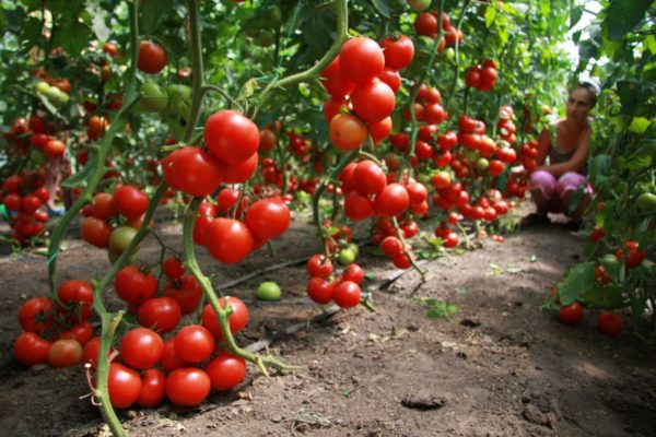 Tomatoes are considered to be one of the best predecessors for cucumbers.
