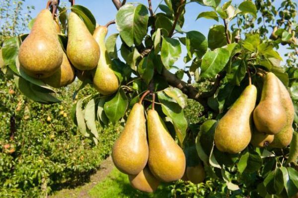 The best varieties of pears