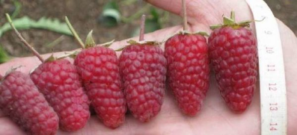 Raspberry Monomakh's cap differs in the big size